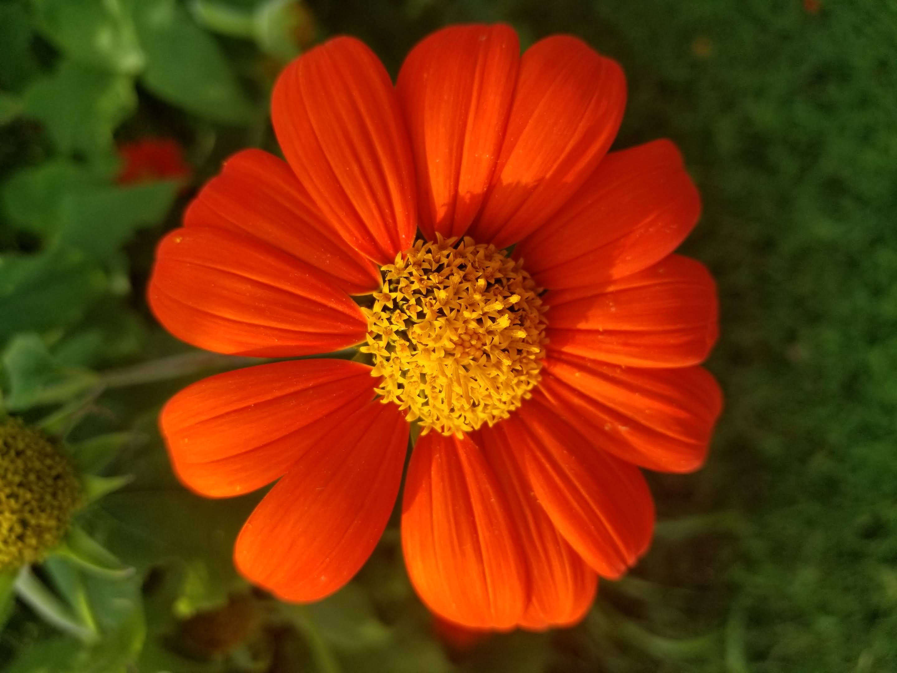 Beautiful Mexican sunflower