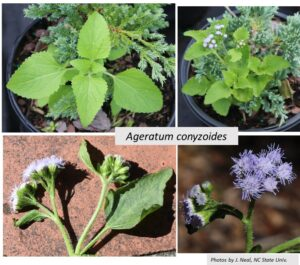 four photos, seedling and blue flowers
